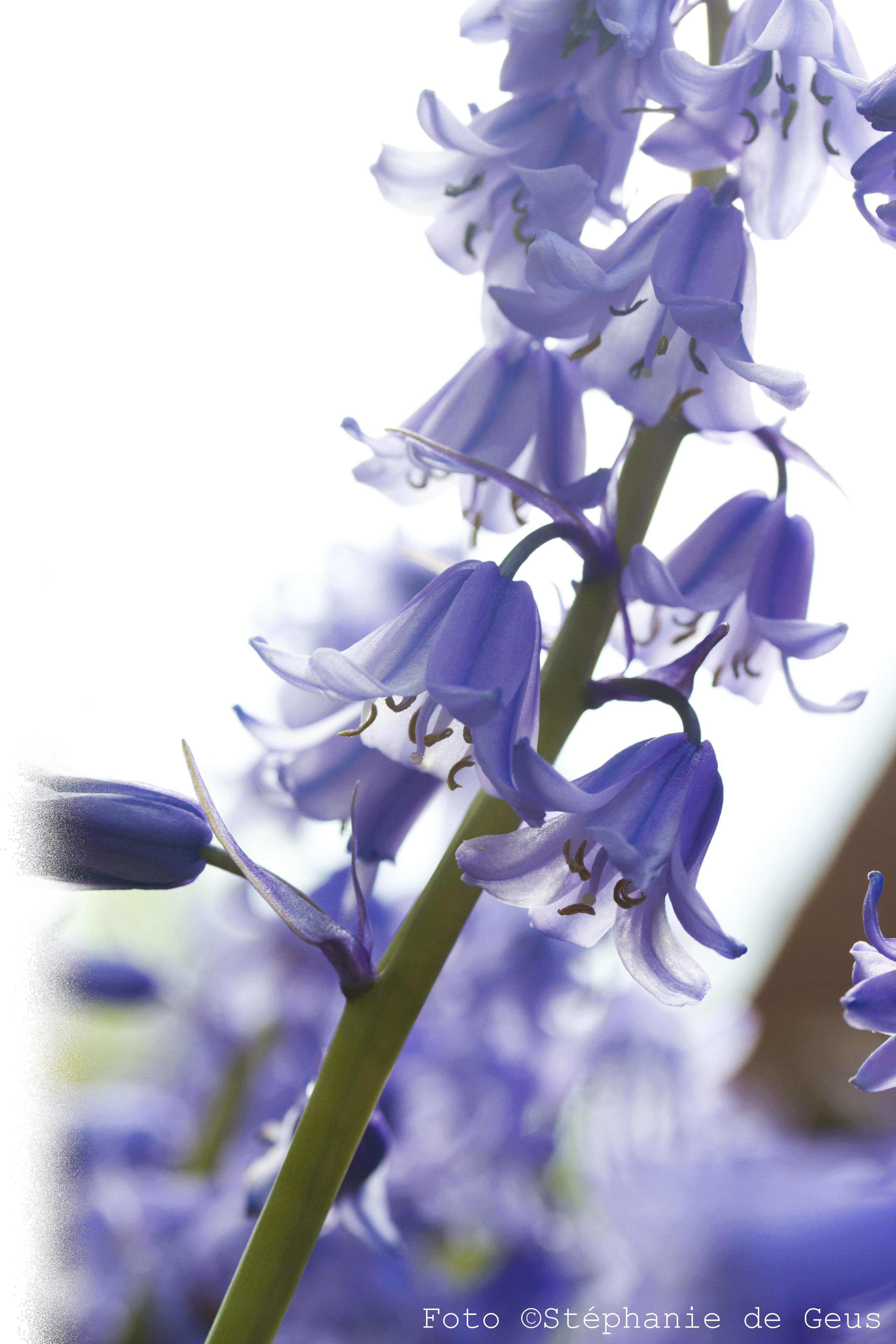 Blauwe_bloemen2